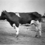 CattleHolland1914