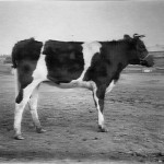 CattlePatience1914