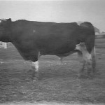 CattlePowerfulofBruntle1914